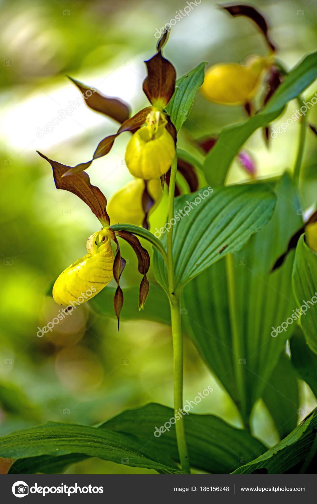 Slipper Orchid Wild Flower Germany Stock Photo Chromorange
