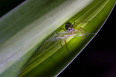 Tiny natural spider