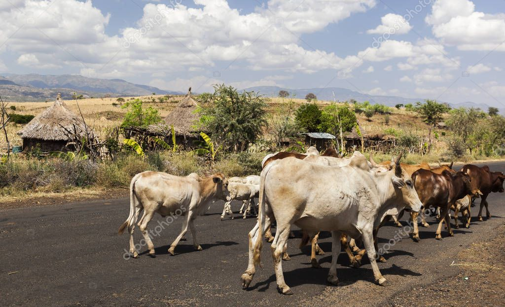 Zebu cattle on highway. Omo valley near Konso, Ethiopia