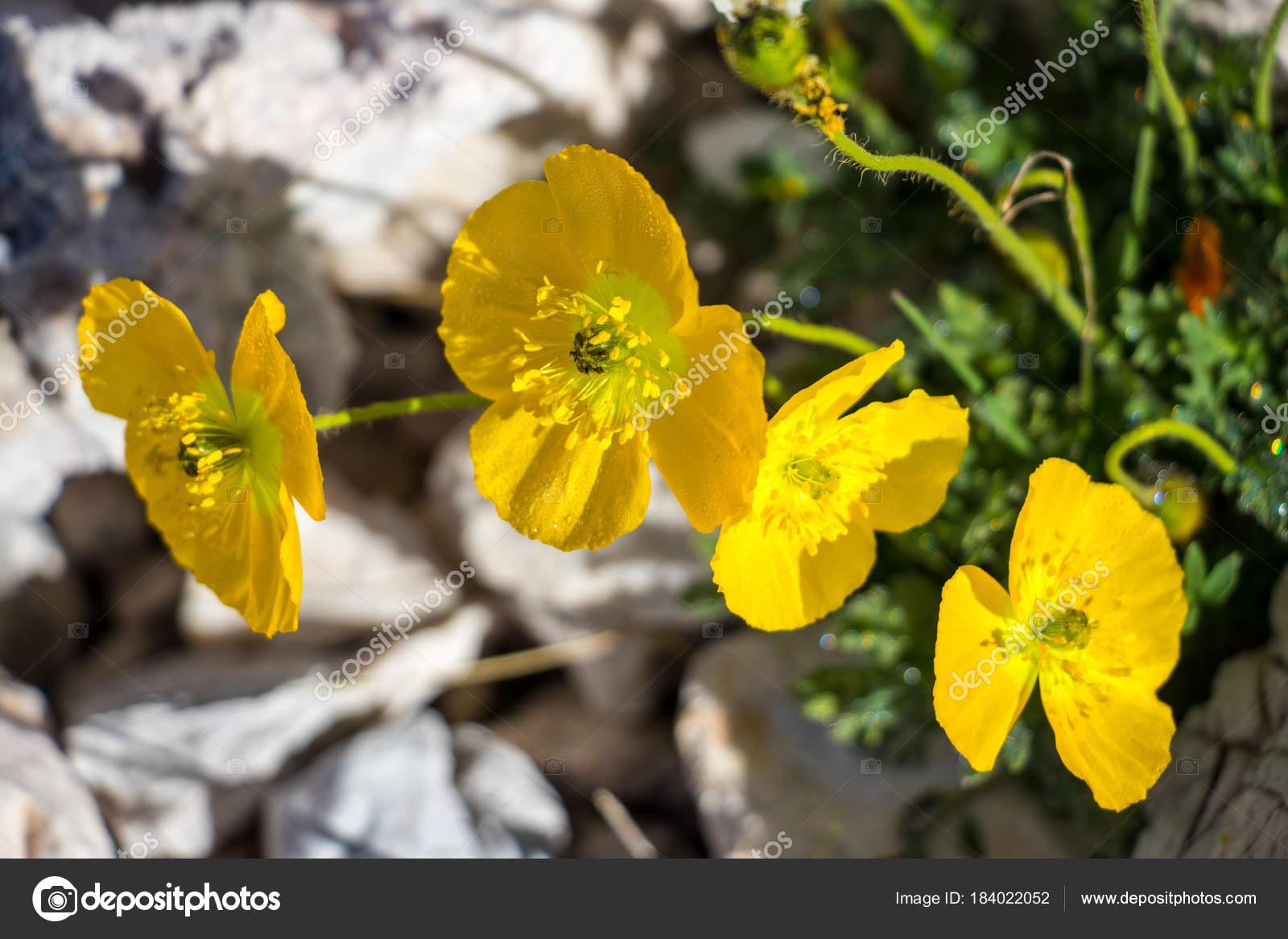 Fiori Gialli Montagna.Four Yellow Blossoms Mountains Stock Photo C Cowii 184022052