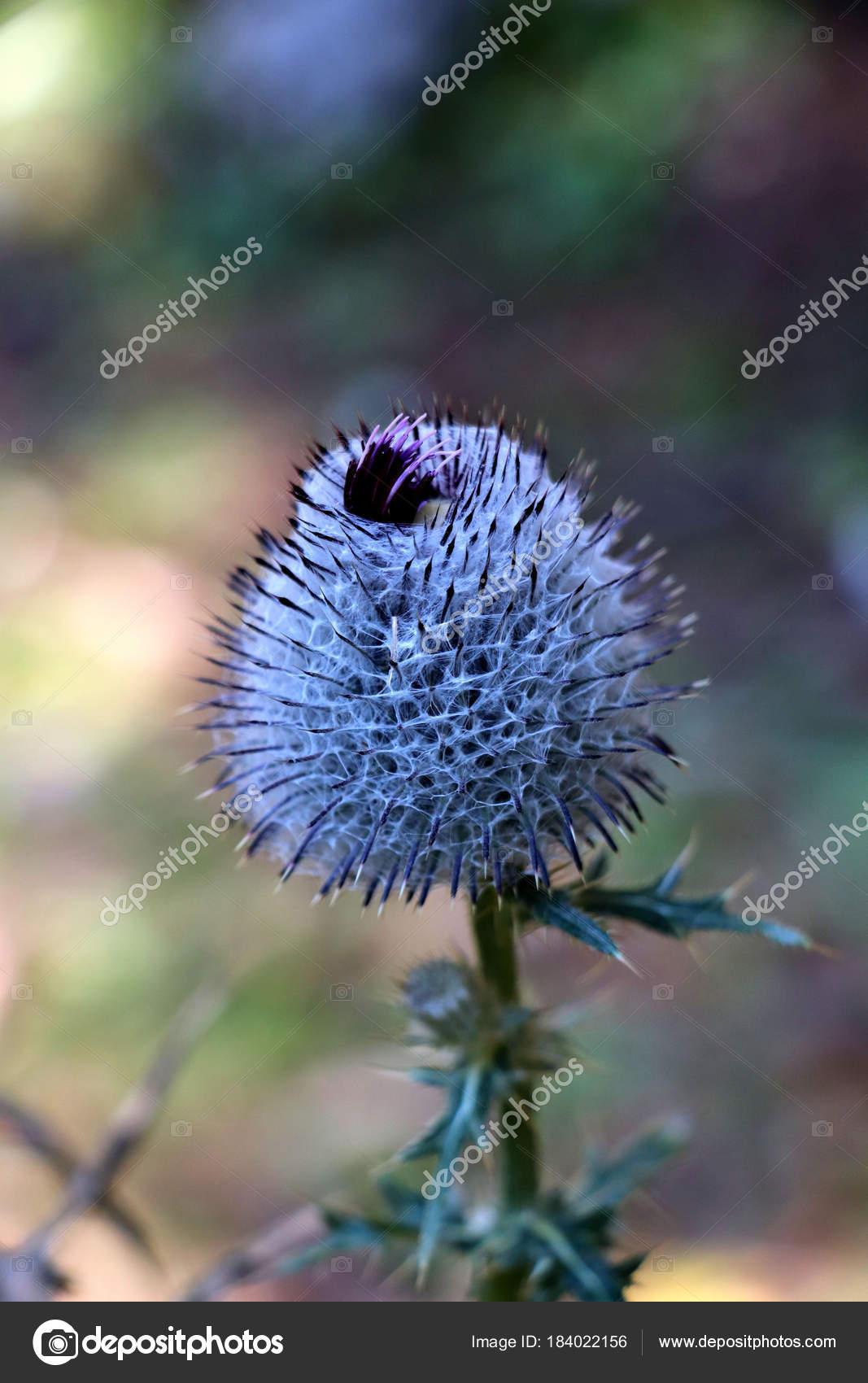 Thistle blue flower small thorns stock photo cowii 184022156 thistle blue flower small thorns stock photo izmirmasajfo