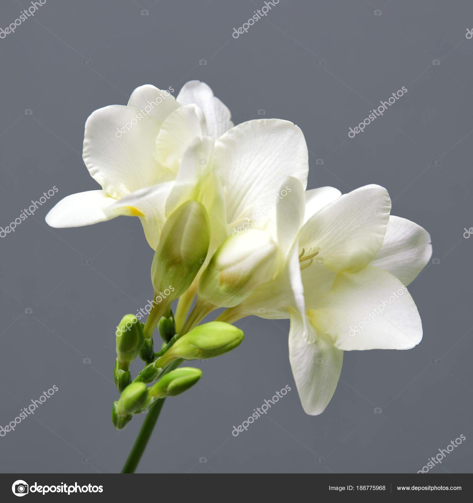 Beautiful Freesia Flower On Grey Background Stock Photo