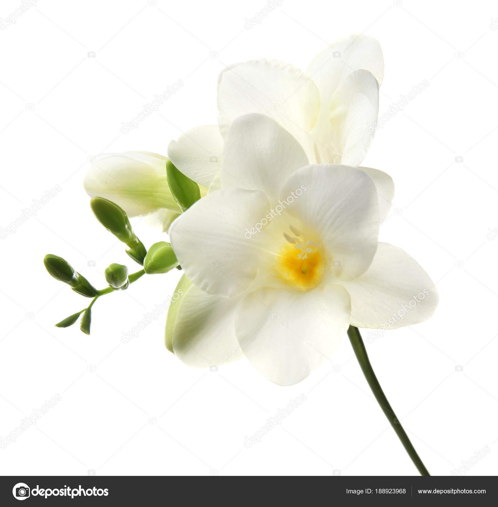 Beautiful freesia flower on white background stock photo beautiful freesia flower on white background photo by liudmilachernetskagmail mightylinksfo