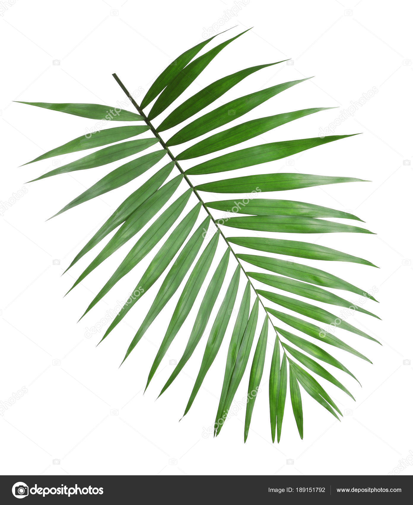 Tropical Howea Palm Tree Leaves Isolated On White Stock Photo C Liudmilachernetska Gmail Com 189151792