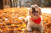 Funny Golden retriever in sunny autumn park