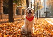 Lustiger Golden Retriever im sonnigen Herbstpark