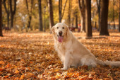 Funny Golden retriever in beautiful autumn park