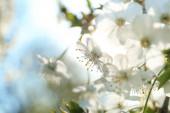 Kvetoucí třešeň, detailní záběr