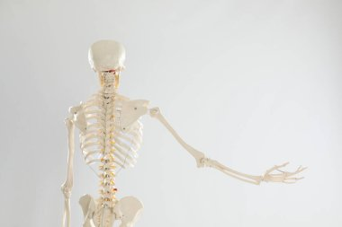 Artificial human skeleton model on white background, back view