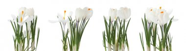 Set of beautiful crocuses on white background. Spring flowers