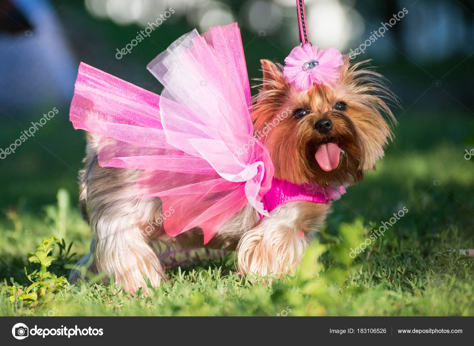 Perro Vestido Novia Posando Aire Libre — Foto de stock ...