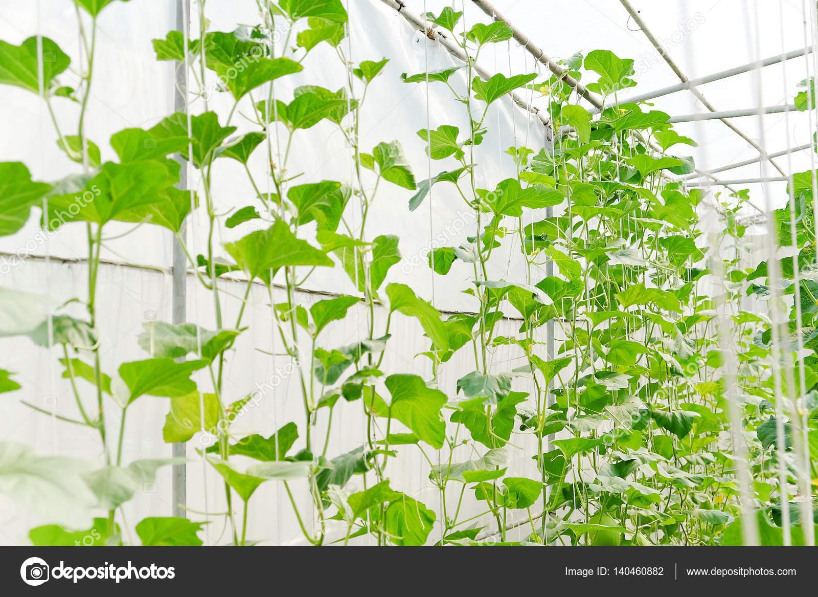 plantation effet de serre de la ferme de melon photographie ponsulak 140460882. Black Bedroom Furniture Sets. Home Design Ideas