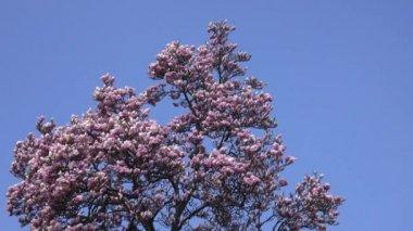květy magnólie proti modré obloze