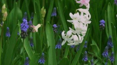 Hyacinths in the botanical garden