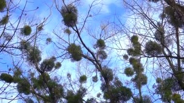 Crowns of trees on the background of the sky