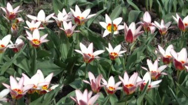 A variety of tulips on the flowerbed