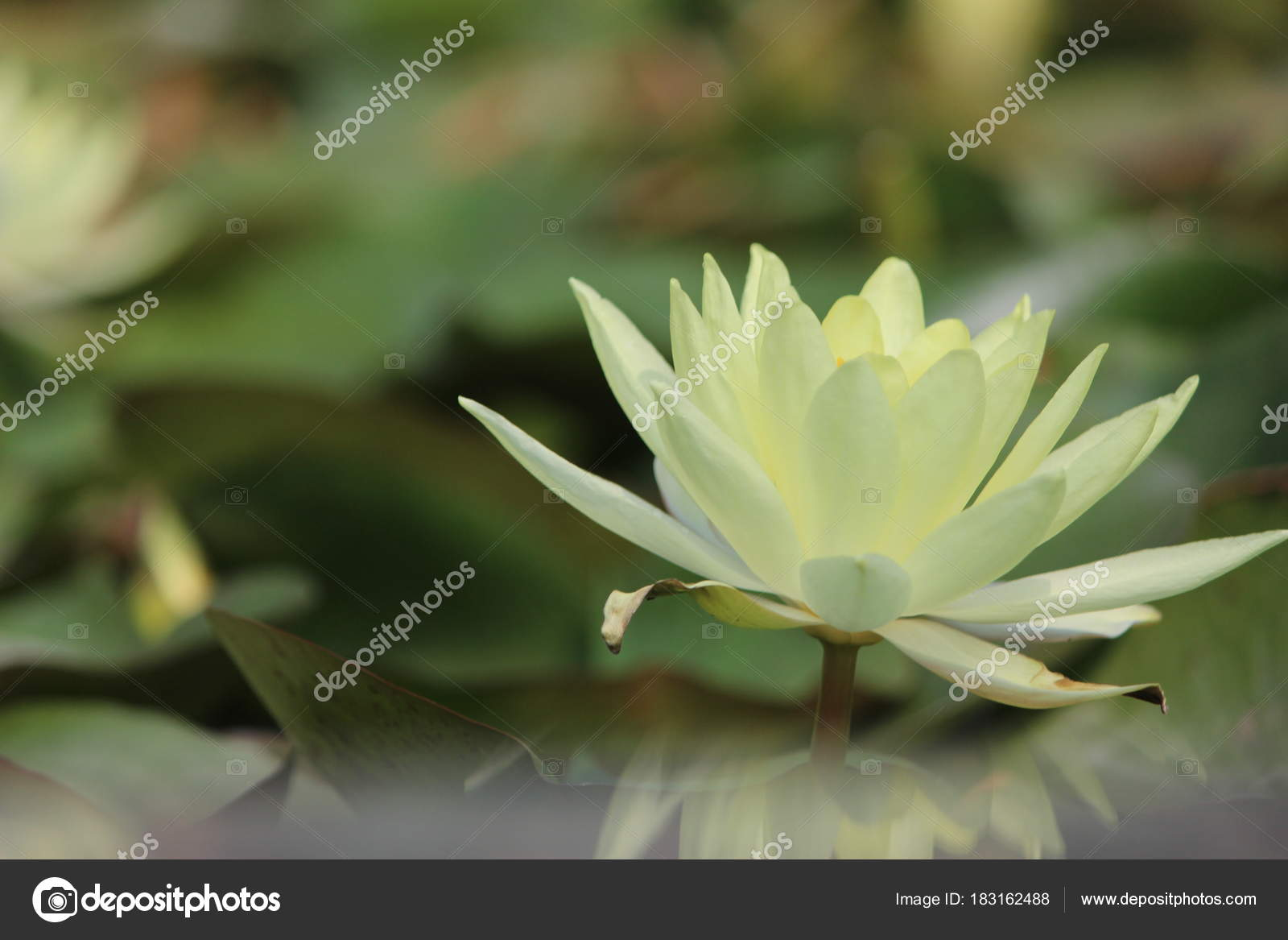 Green lotus flower pond looking awesome what beautiful nature green lotus flower pond looking awesome what beautiful nature stock photo izmirmasajfo