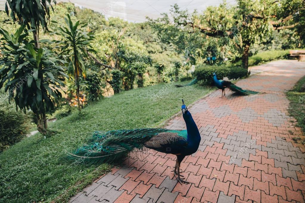 Фотообои peacocks