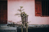 bonsaje strom