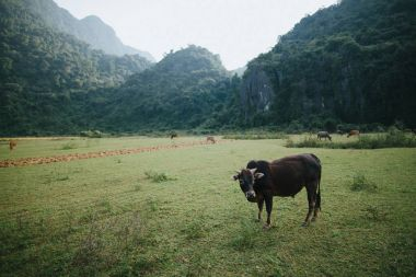 Cattle grazing on green grass in mountains, Phong Nha Ke Bang National Park, Vietnam stock vector