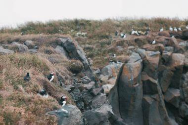 puffins birds