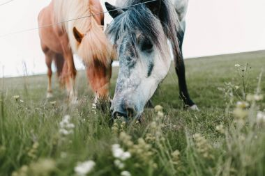 Close-up view of beautiful icelandic horses grazing on green pasture stock vector
