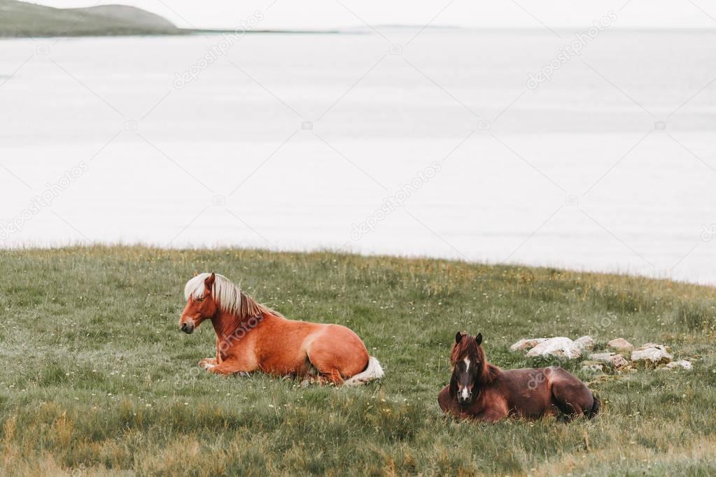 Beautiful horses lying on green grass near ocean in western iceland stock vector