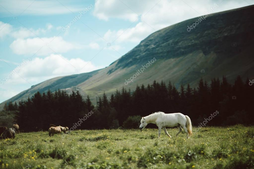 Beautiful icelandic horses grazing on green pasture stock vector