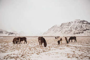 Beautiful icelandic horses grazing in snow-covered landscape stock vector
