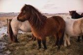 furry koně