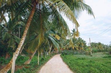 Beautiful view of palm trees along path, mirissa, sri lanka stock vector