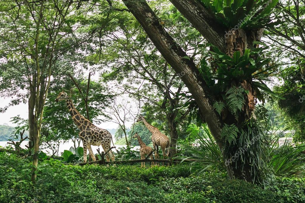 SINGAPORE - JAN 19, 2016: wild giraffes in natural habitat among trees with green leaves stock vector