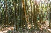 rostliny bambusu