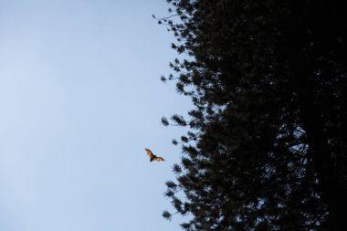 Bottom view of wild flying fox bat flying near tree, sri lanka, kandy stock vector
