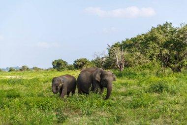 Beautiful scenic view of wild elephants in natural habitat, Asia, sri lanka, minneriya stock vector