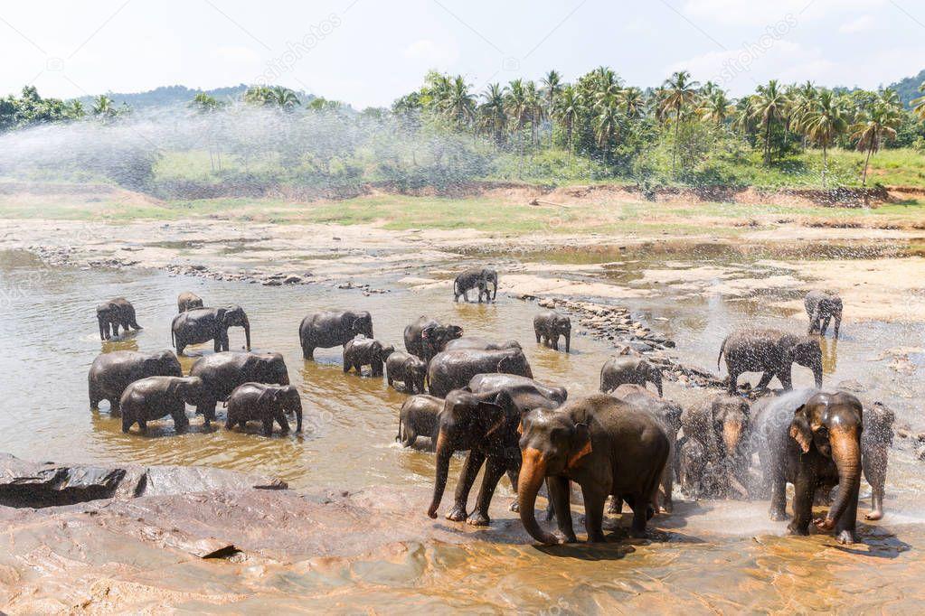 Scenic view of wild elephants in natural habitat in Asia, sri lanka, pinnawala stock vector