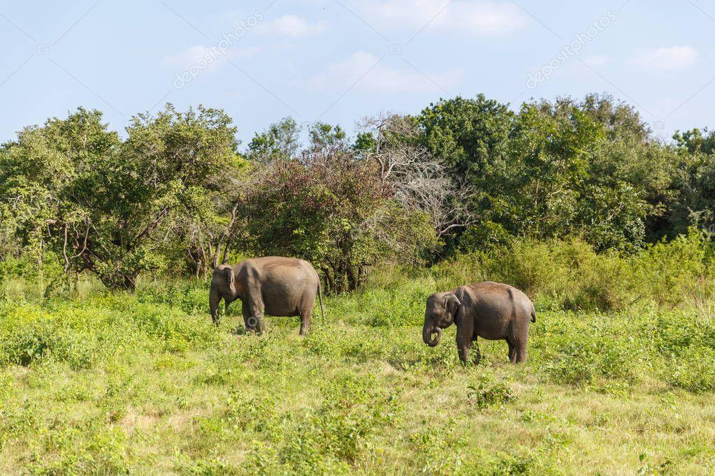 Scenic view of wild elephants in natural habitat on field, sri lanka, minneriya stock vector