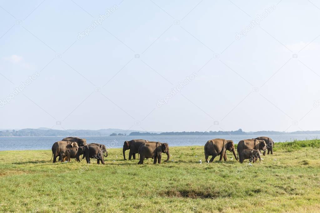 Scenic view of wild elephants in natural habitat on field, sri lanka, minneriya stock vector