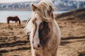 Fotografie Islandský kůň