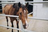 Fotografie zblízka pohled na krásné hnědé koně ve stáji, stuttgart, Německo