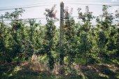 Fotografie apple plantations