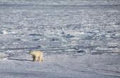 Polar bear in arctica