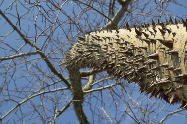 Ceiba speciosa, tree trunk with skewers