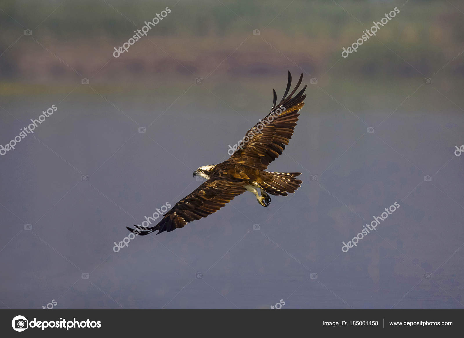 Pictures Osprey In Flight Osprey In Flight Pandion Haliaetus Or Fish Eagle Or Sea Hawk Stock Photo Realityimages 185001458