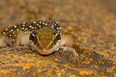 Gechi collina della termite sono abbastanza grandi gechi che recano fasce distinte sul loro dorso. Si trovano comunemente nei pressi di termitai
