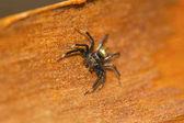 Fotografie Springen Spinne, ist Phintella Vittata eine gemeinsame bunte Spinne auf niedrigen Büschen