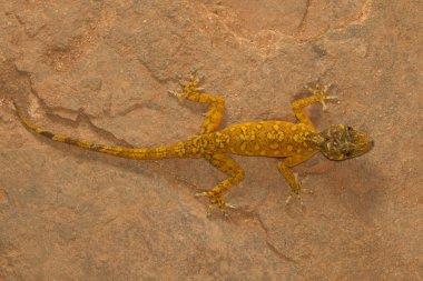 Male golden gecko, Calodactylodes aureus. Visakhapatnam, Andhra Pradesh, India