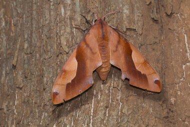 A large Hawk moth found in forests of Kanger Ghati National Park, Bastar District, Chhattisgarh