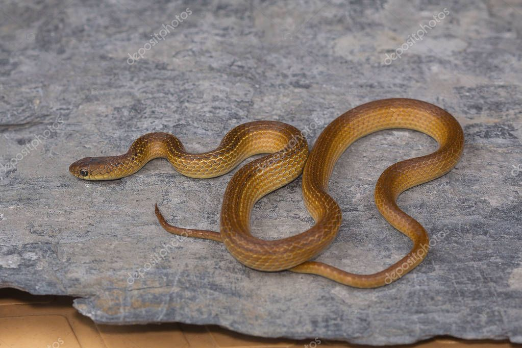 Lesser striped necked snake, Liopeltis calamaria, Rare. Kaas plateau, Satara district, Maharashtra.