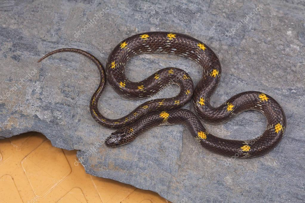 Barred wolf snake, Lycodon striatus from Kaas plateau, Satara district, Maharashtra